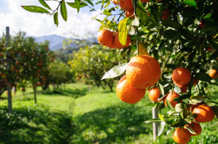 Copper fungicides: the essential tool for citrus growers